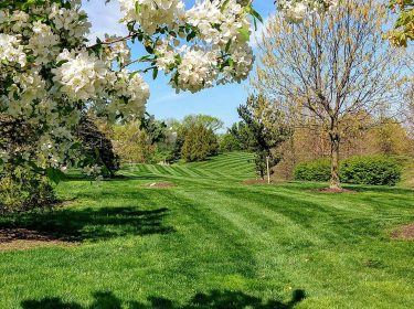 Freshly mowed grass with trees that have white flowers in the foreground